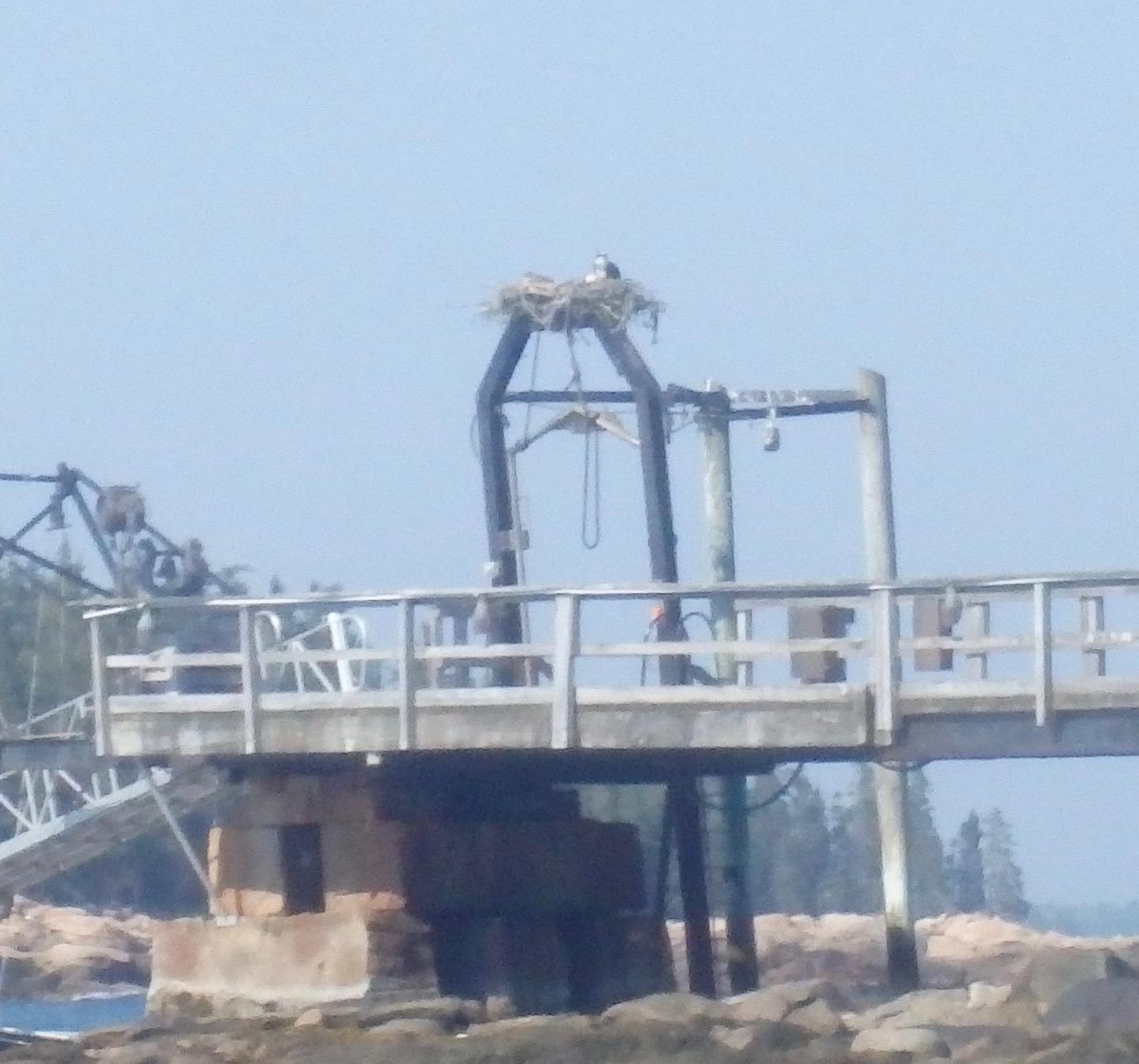 Osprey on Southern Island