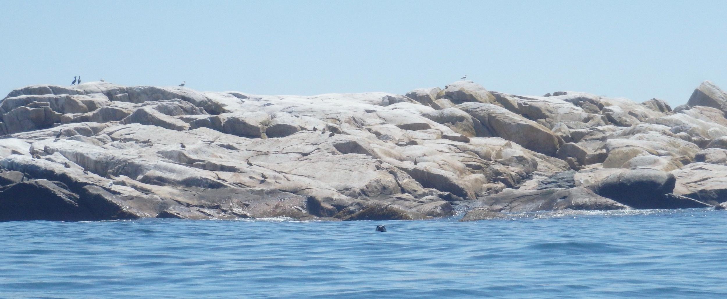 Seal off Matinicus Rock