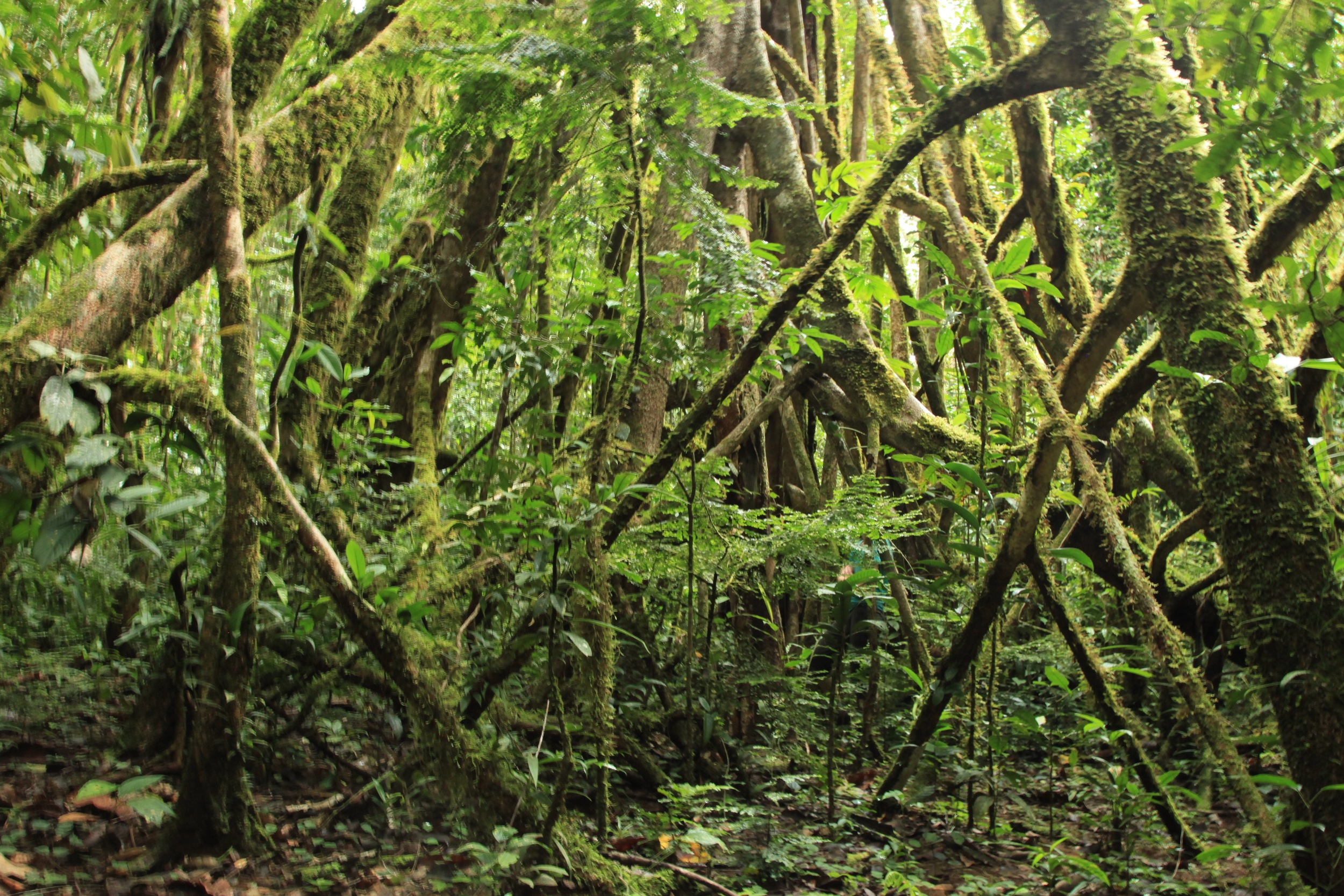 Above-ground roots of a massive Strangling Fig tree on the bush track to Wasana Camp