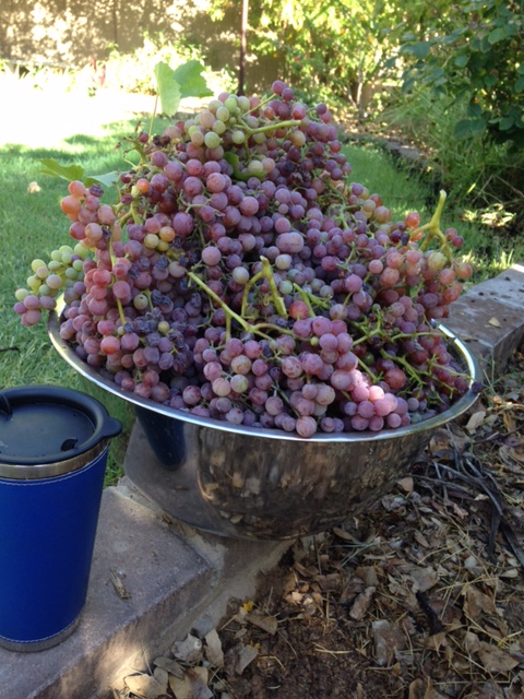 Grapes from my backyard!