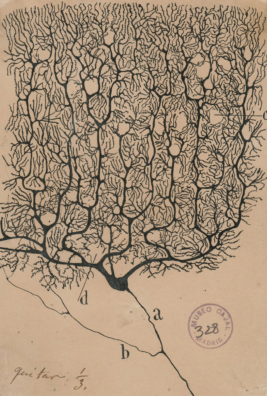 """Purkinje neurons from the human cerebellum,"" an 1899 drawing. Credit:  Cajal Institute, Madrid"