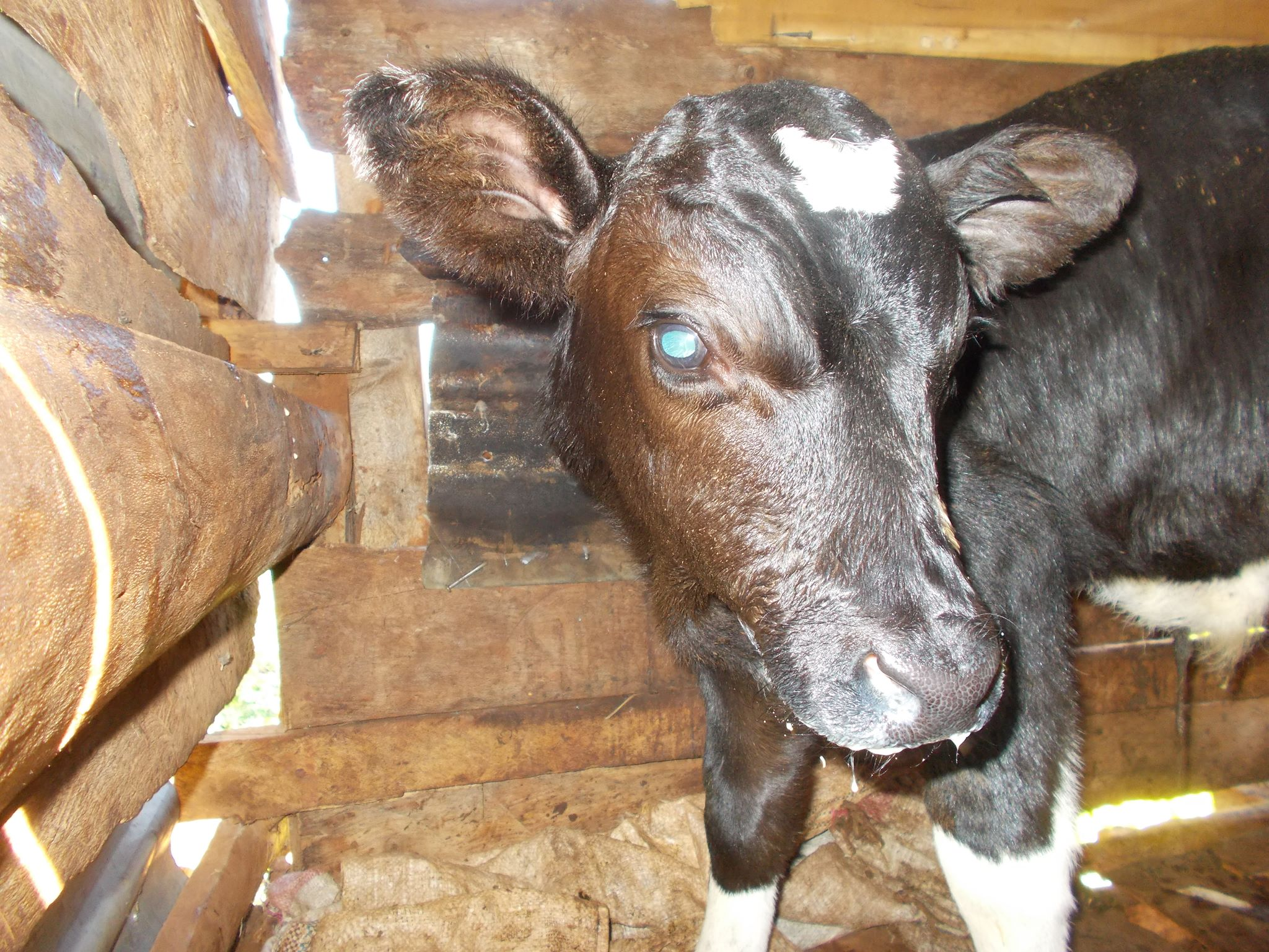 A baby boy calf was born and the Moja supporters voted to name him Ferdinand.
