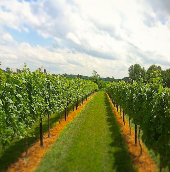 The-Pour-Vineyard-Grapes