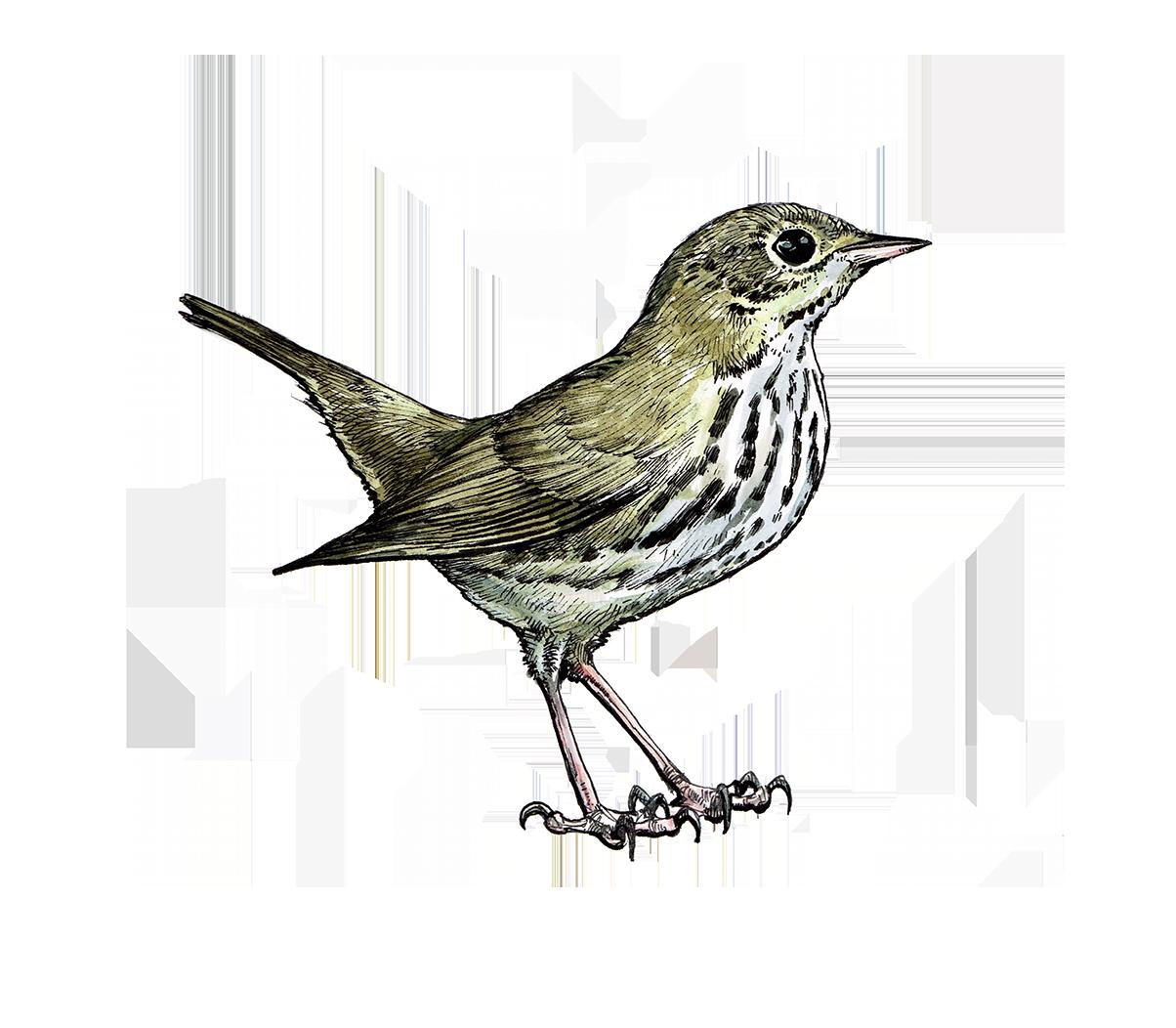 SeiurusAurocapillaOvenbird.png