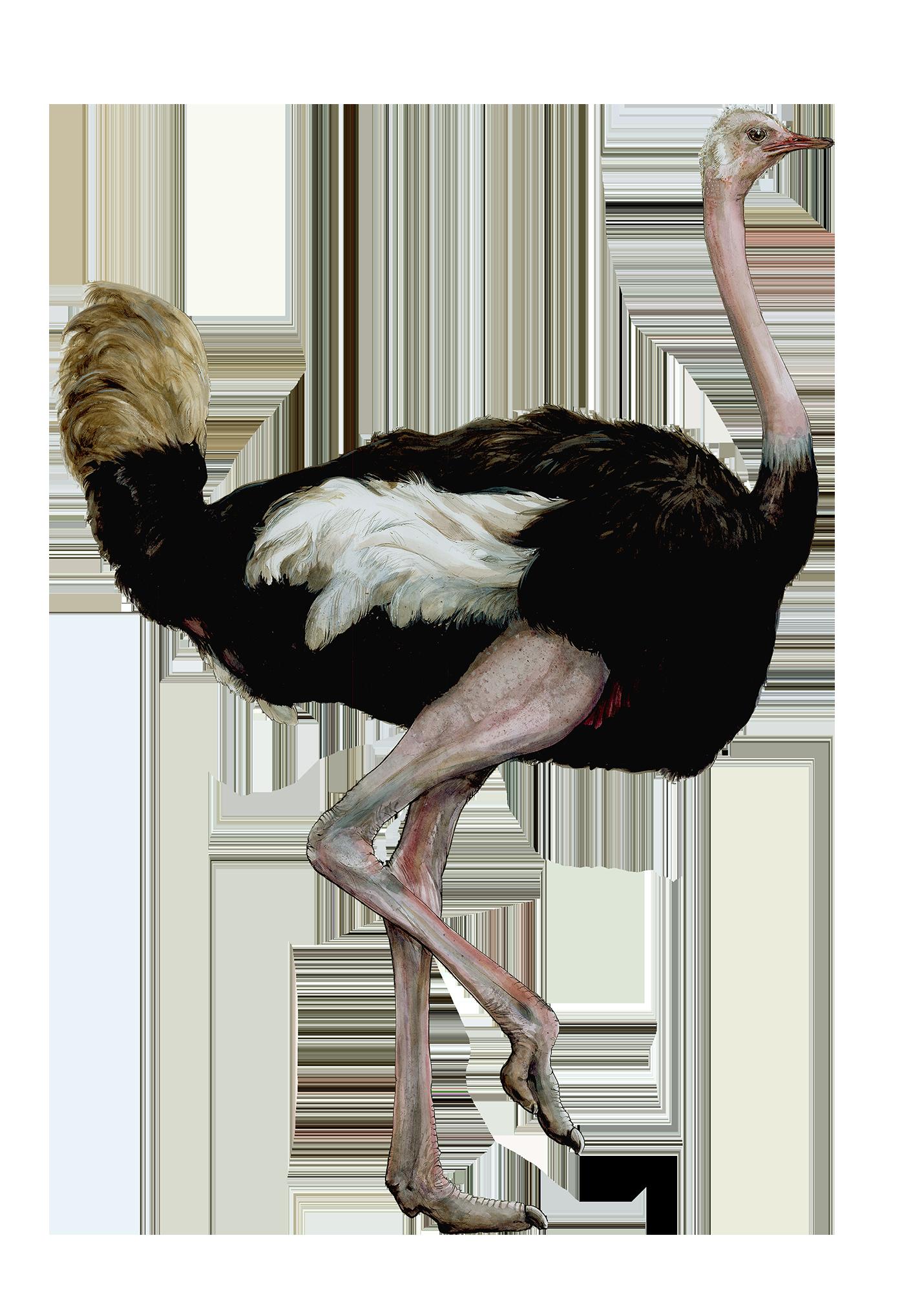 OstrichSmaller.png