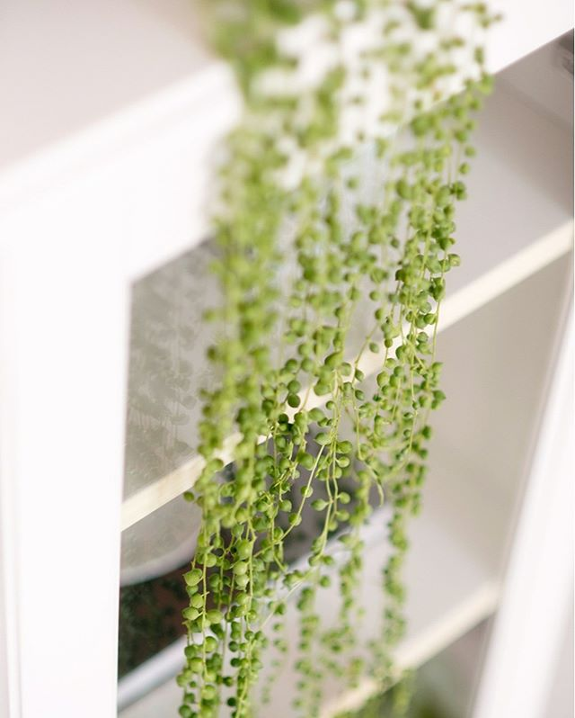 Flashback to better days for our string of pearls, it's looking a bit sad now. We need to repot it I think? Gosh keeping house plants is a roller coaster of emotions, one month you're a genius and then the next you feel like a failure lol.⠀⠀⠀⠀⠀⠀⠀⠀⠀ .⠀⠀⠀⠀⠀⠀⠀⠀⠀ .⠀⠀⠀⠀⠀⠀⠀⠀⠀ .⠀⠀⠀⠀⠀⠀⠀⠀⠀ .⠀⠀⠀⠀⠀⠀⠀⠀⠀ . #perthsocial #perthinfluencer #perthstartups #perthmarketing #perthblogger #perthnow #perthevents #perthlife #perth #perthcreatives #perthgram #perthhappenings #perthtodo #perthfashion #perthpop #perthstyle #seeperth #perthsmallbusiness #perthstyle #soperth #perthmums #perthisok #perthentrepreneur #entrepreneur #perthgirlboss #networkinginperth #businesstips #perthbusiness #houseplants #stringofpearls