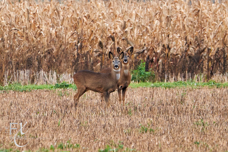 Deer in Beckington near Bath