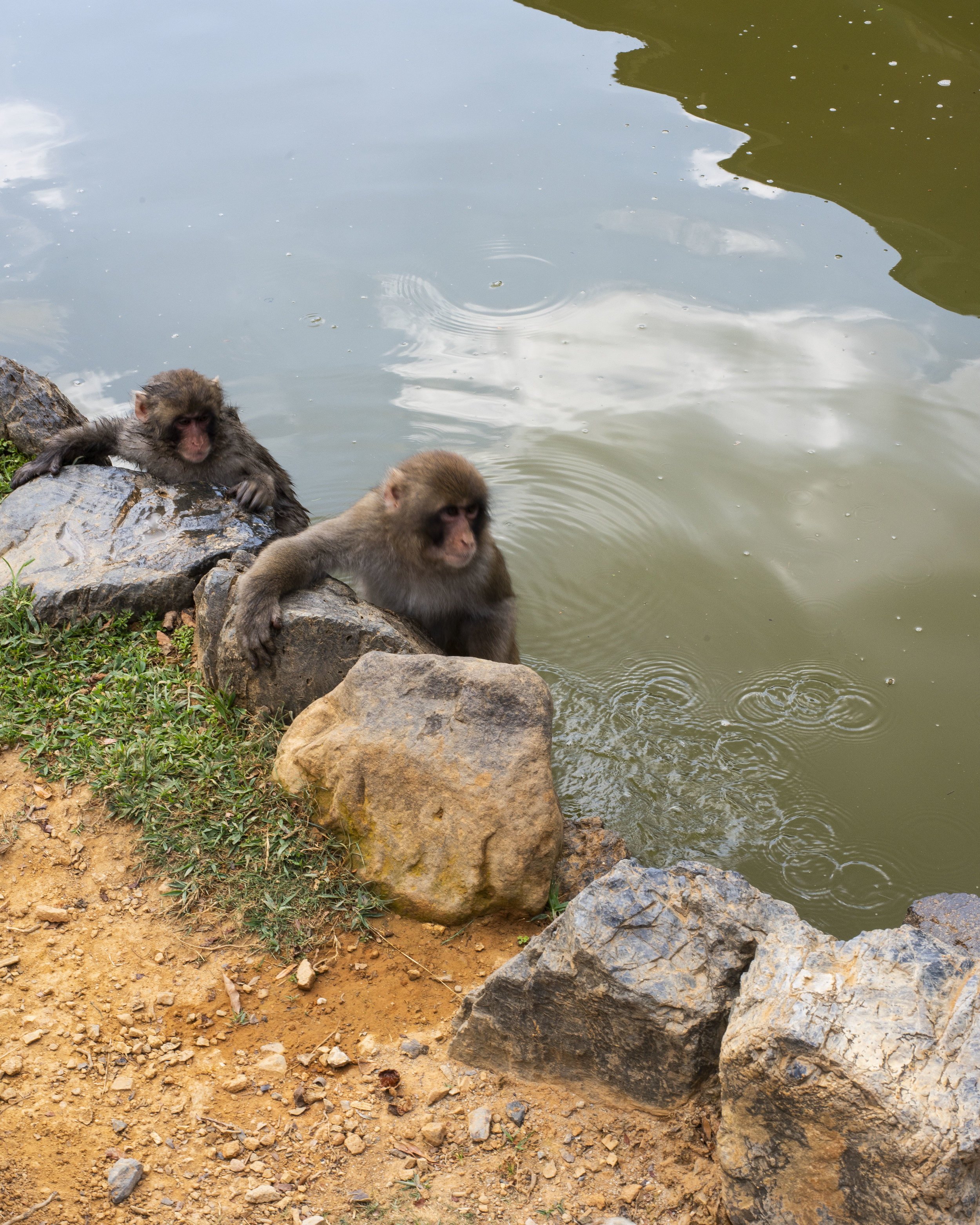 Monkeys taking a swim in Arashiyama, Kyoto