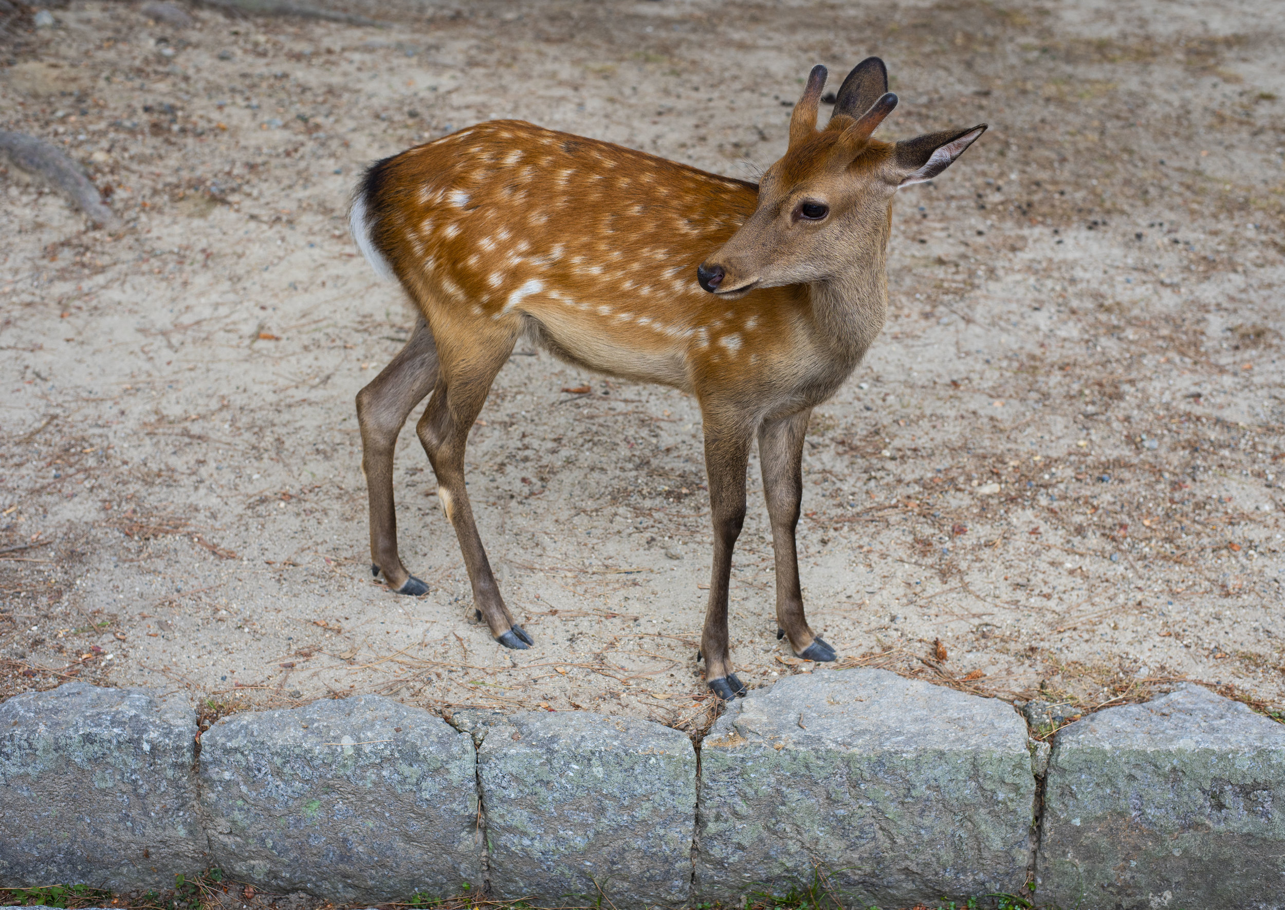 Cute deer in Nara, Japan