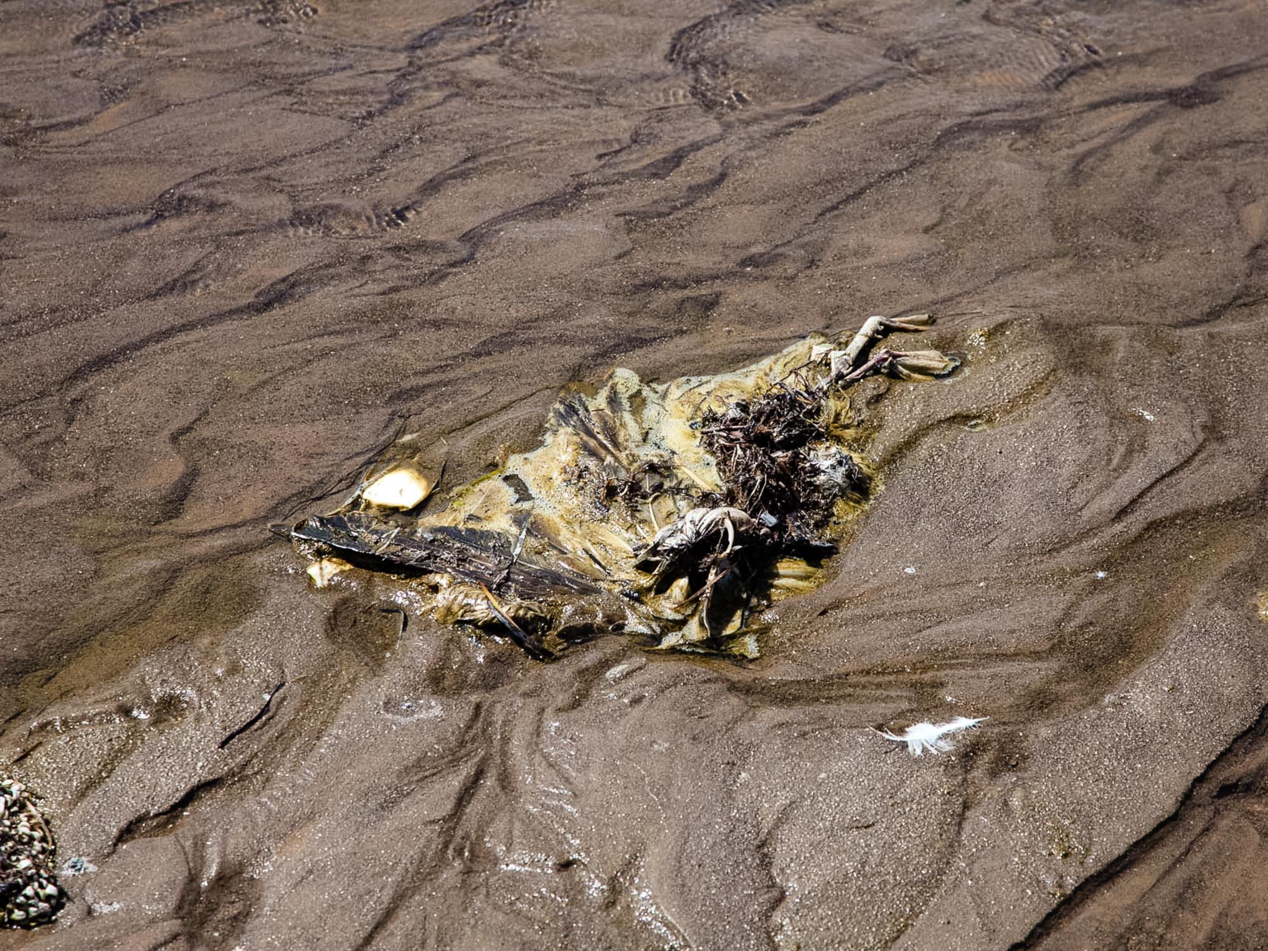 Plage de Chott Essalem. Gabès. 2016. Un oiseau mort liquéfié par les produits chimiques git sur la plage de Gabes.