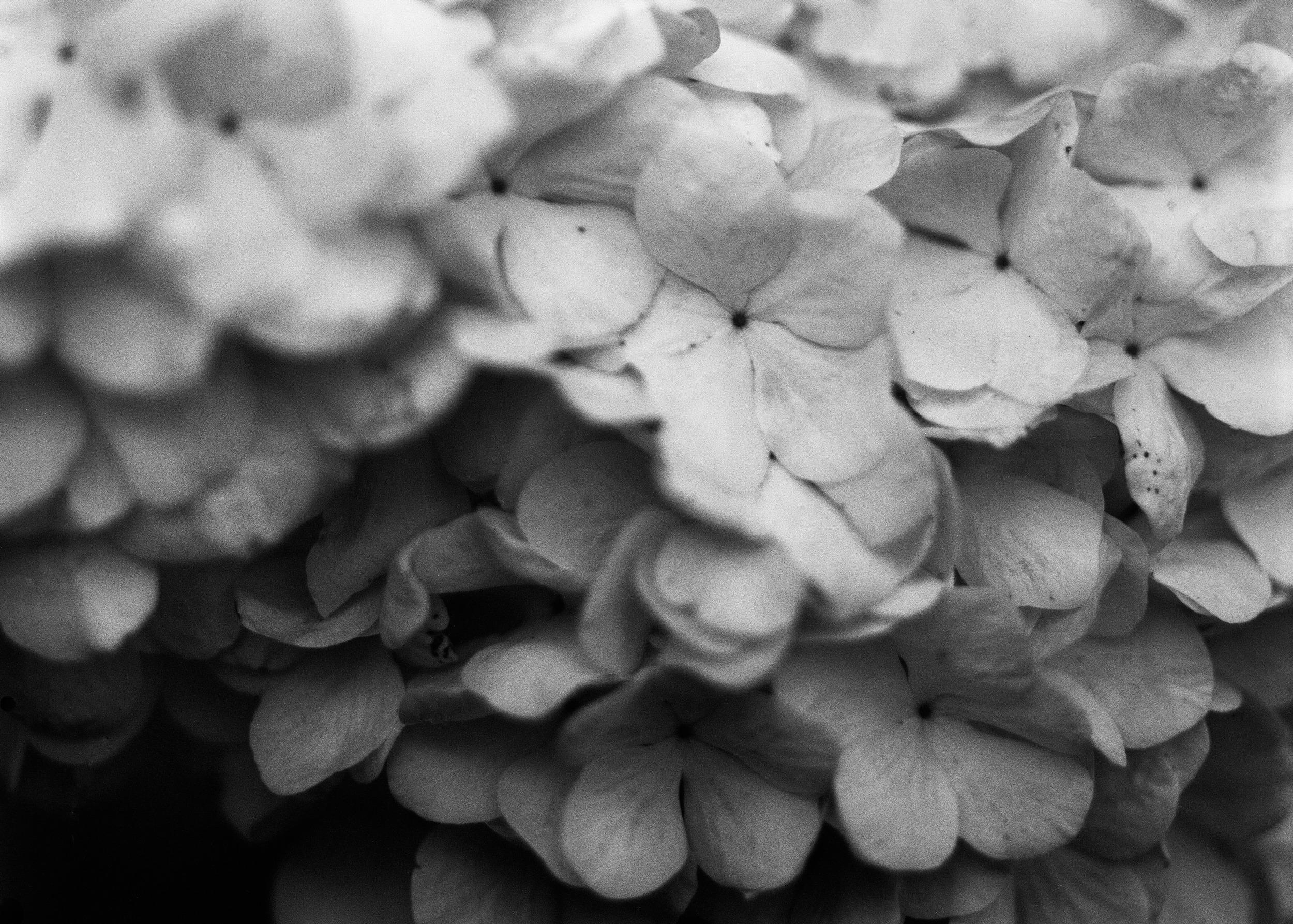 hydrangea   Spring 2013 Sewanee, TN  scan of 4X5 original negative