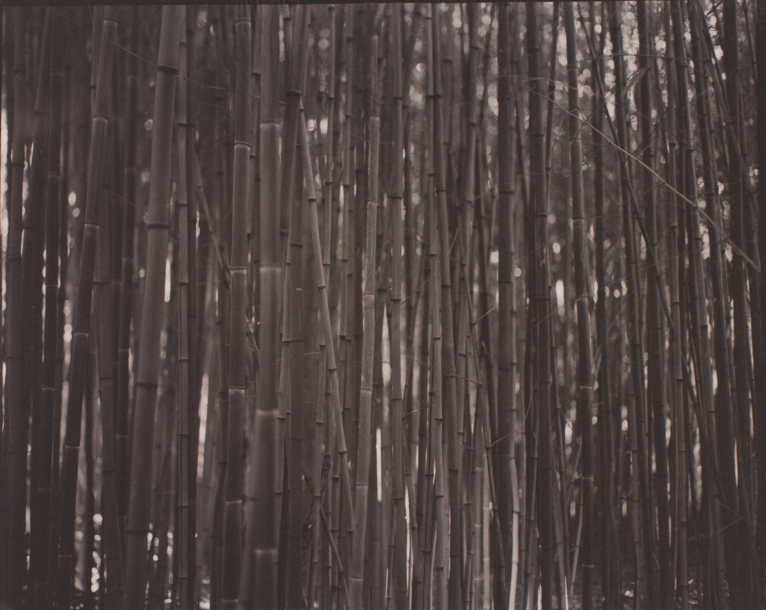 bamboo   July 2015 Sewanee, TN  scan of platinum-palladium print from original 8X10 photographic negative on Reich CT Vellum, dry mounted on archival mat board