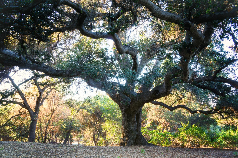 Giant California Oak in Claremont, California