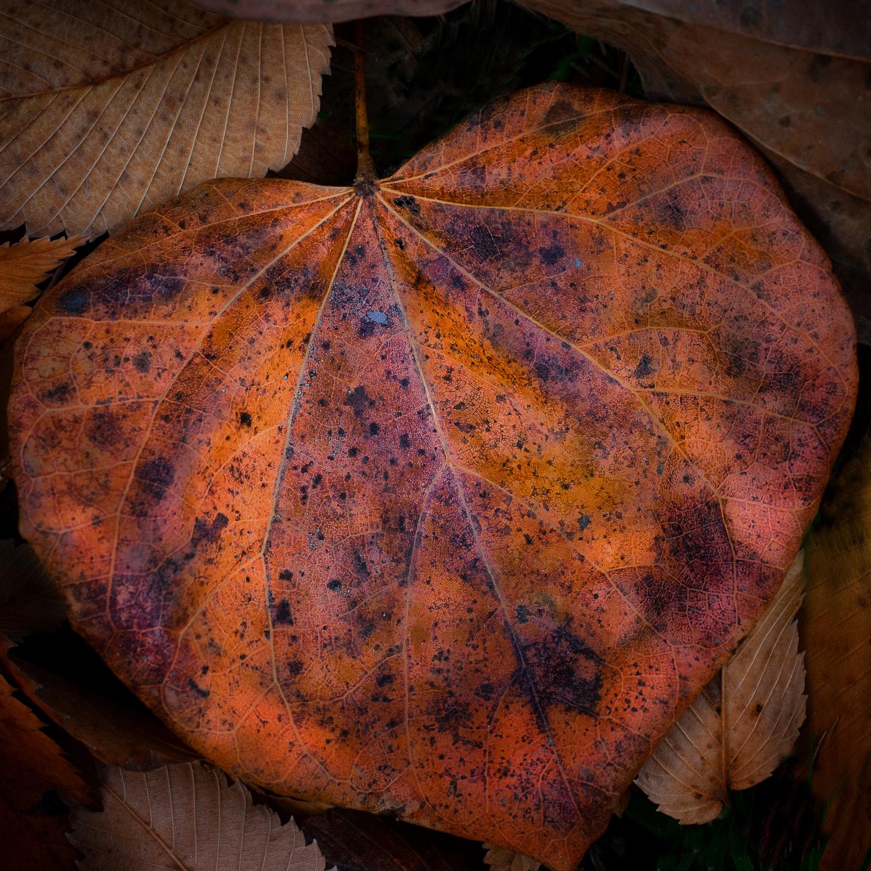 Winter Redbud leaf