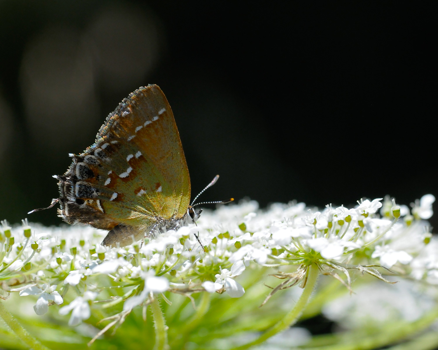Juniper Hairstreak on Queen Anne's Lace near Newton, Kansas