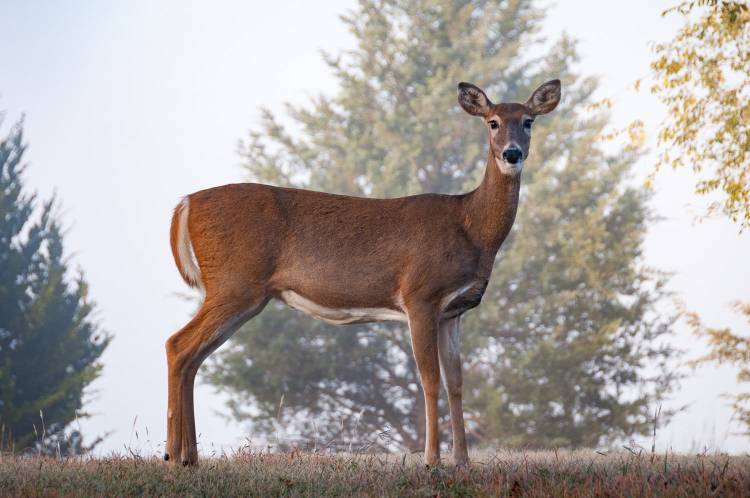 Whitetail doe at Kanopolis State Park, Kansas