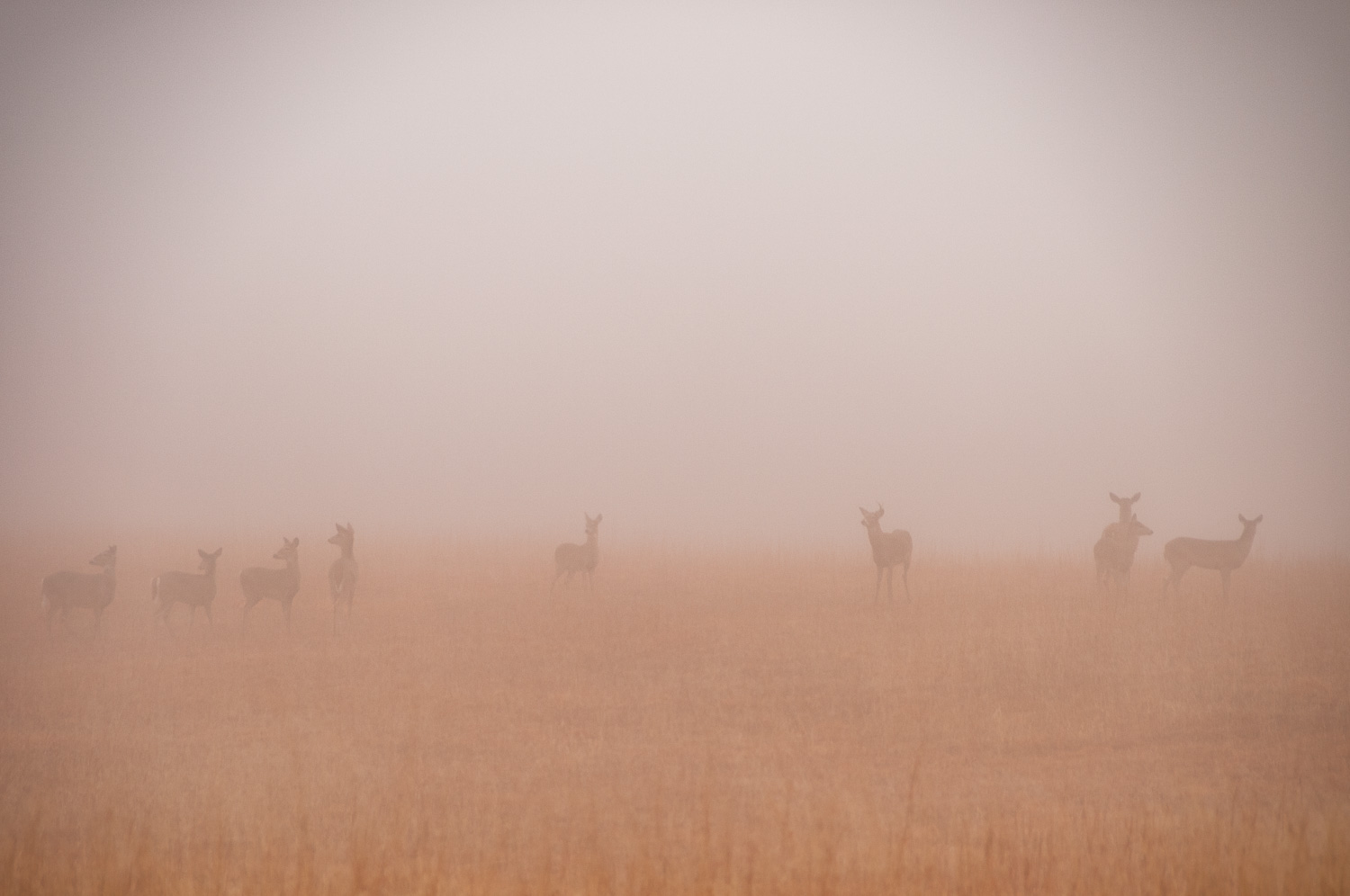 Whitetails in morning fog at Osage Nature Trail, Harvey County, Kansas