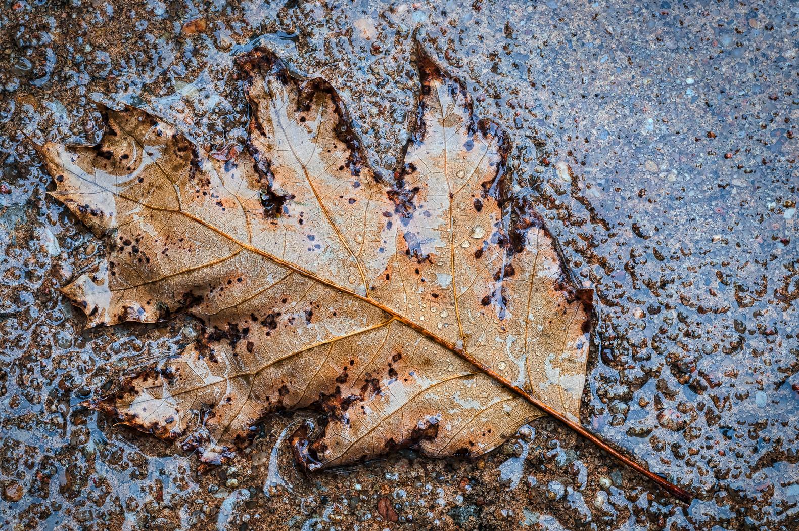 Fall Oak Leaf in the Rain