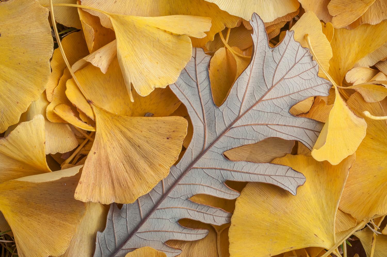 Burr Oak Leaf amidst Gingko Leaves