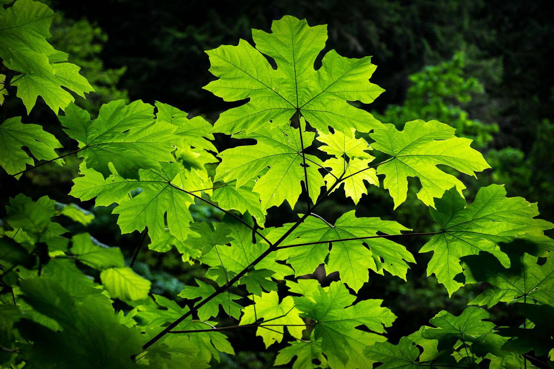 Backlit Maple Leaves in Oregon