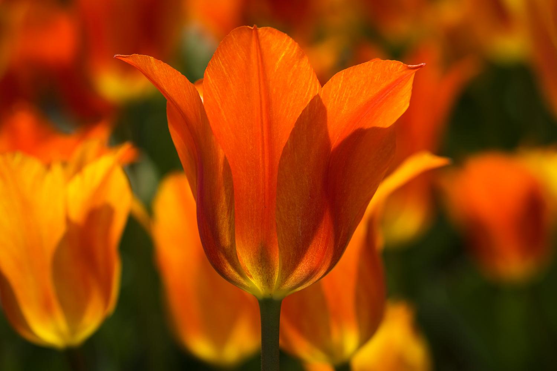 Tulips at Botanica, The Wichita Gardens