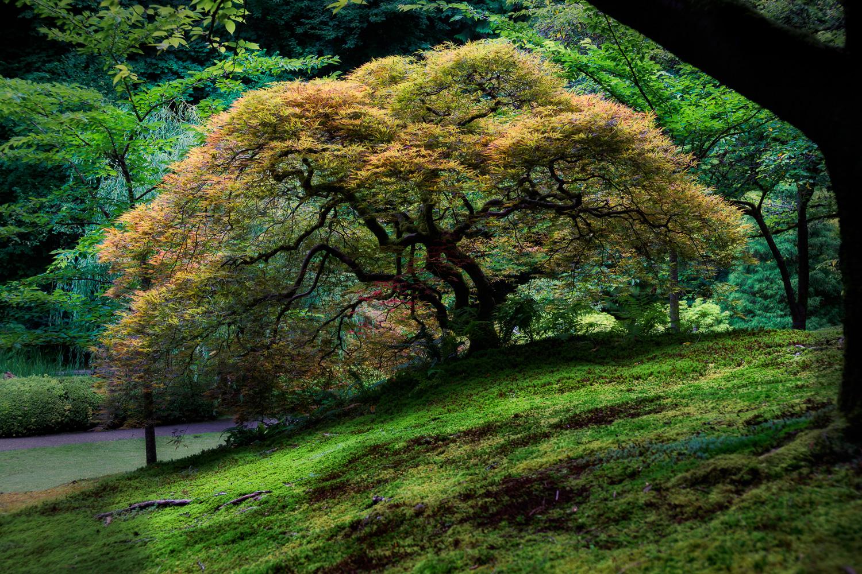 Evening Light on Japanese Maple