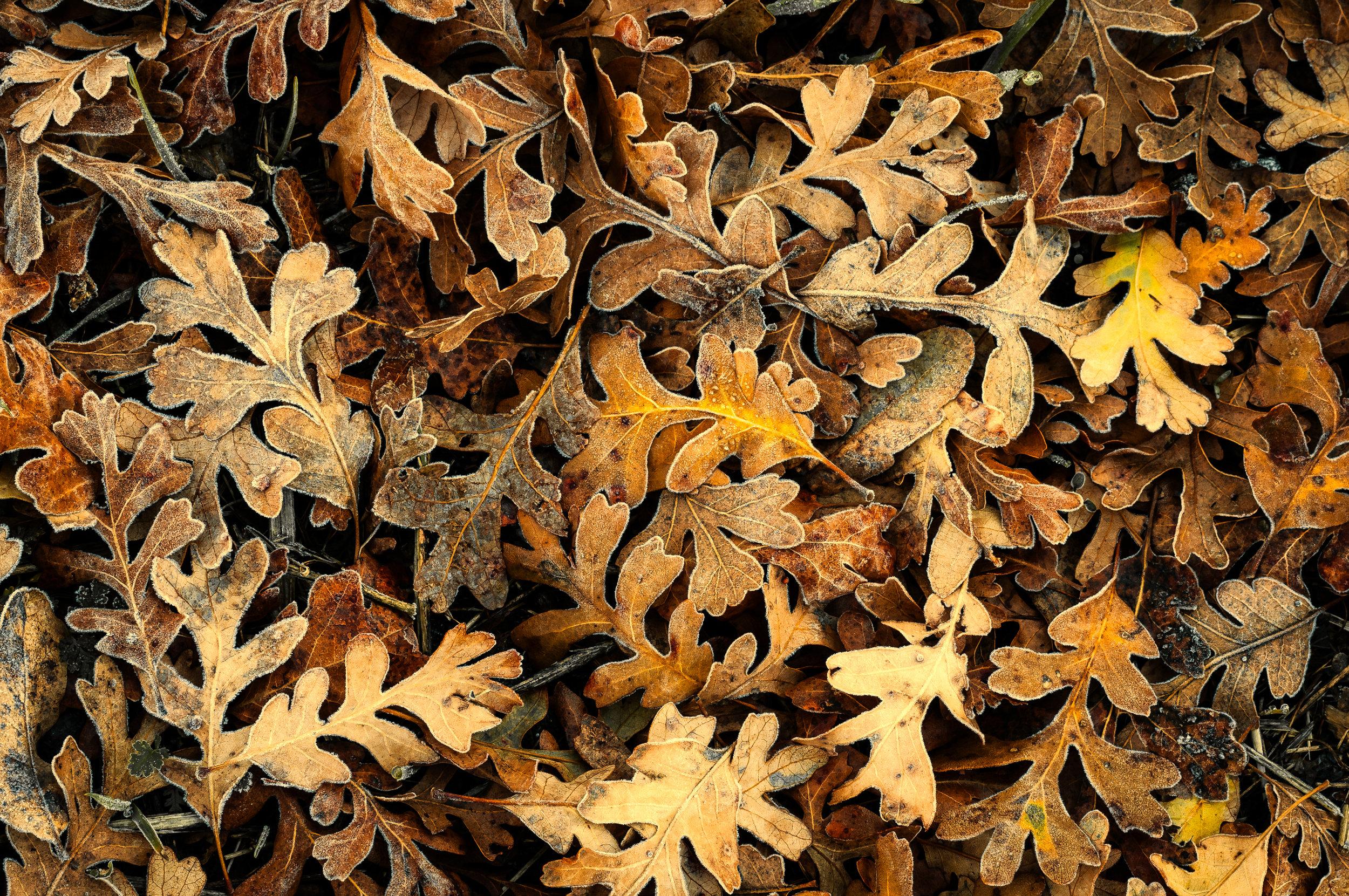 Frosty Fall Oak Leaves