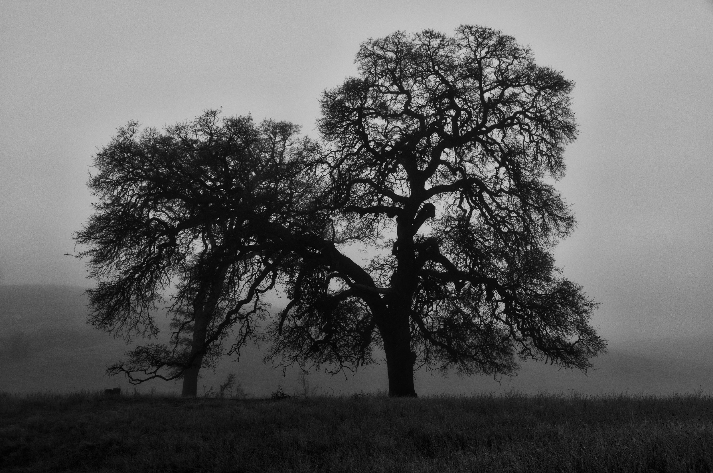Old Oak Trees in Morning Fog