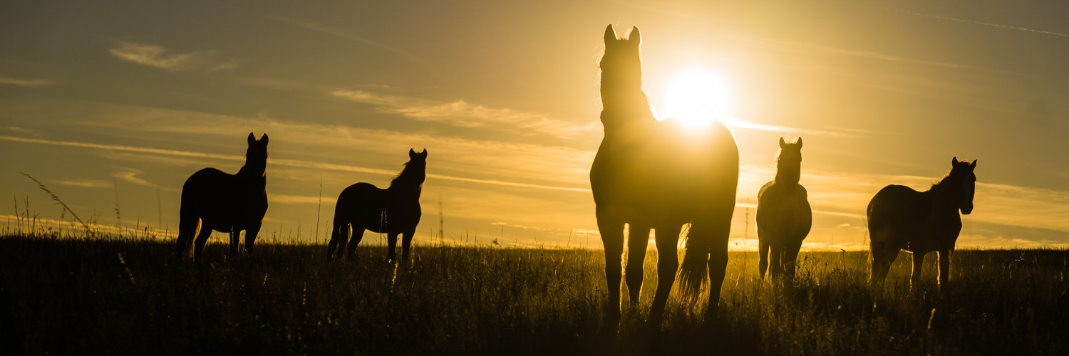 Wild Mustangs in the Flint Hills