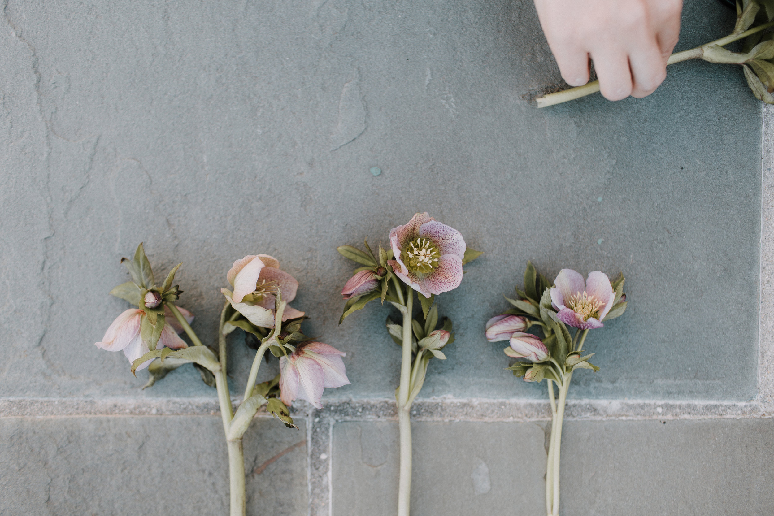 hellebore, Helleborus orientalis_Sophie + Co. florals for weddings and events in Washington, DC