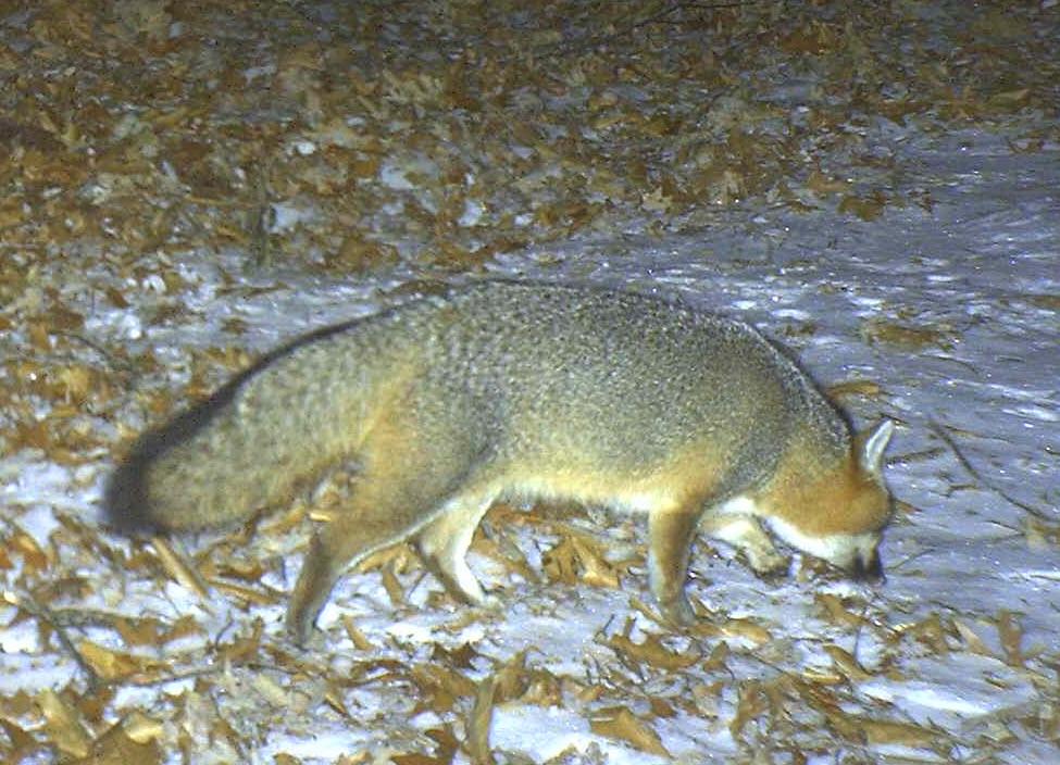 Southwoods  fox photo.jpg