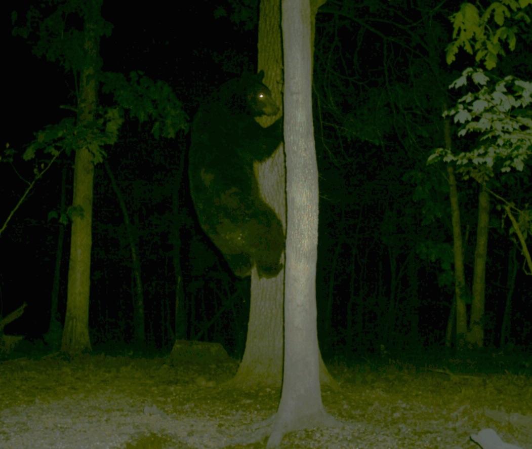 Southwoods bear in tree.jpg