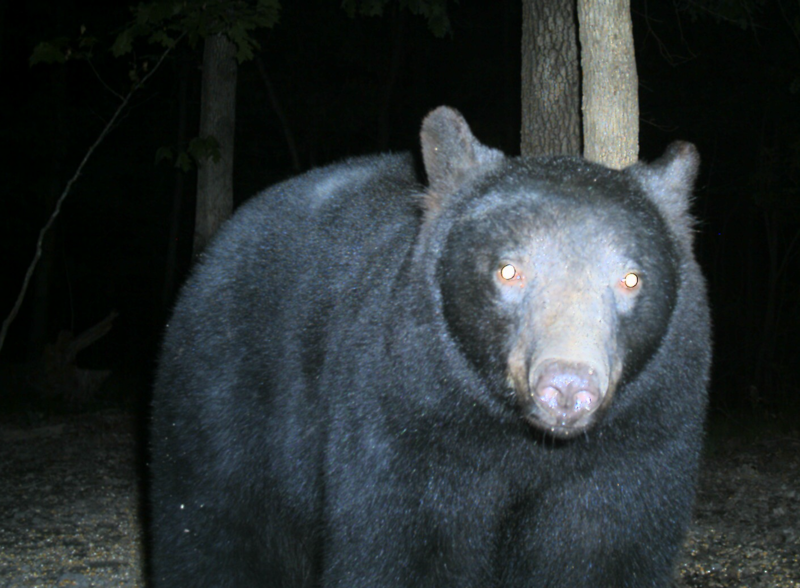 Southwoods bear on ground.png