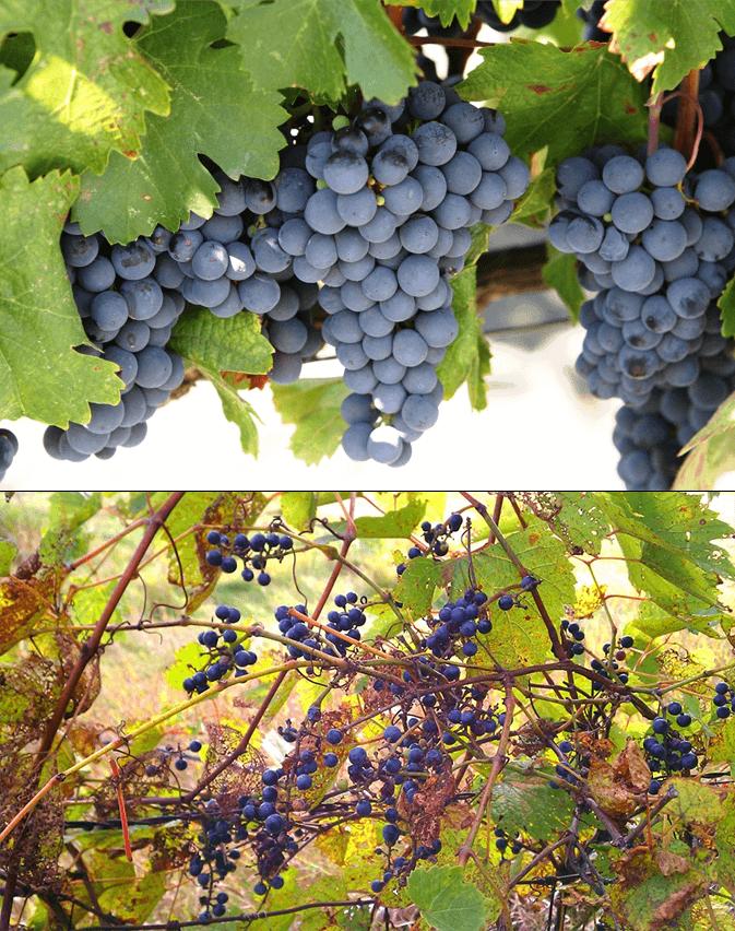 Grape Comparison
