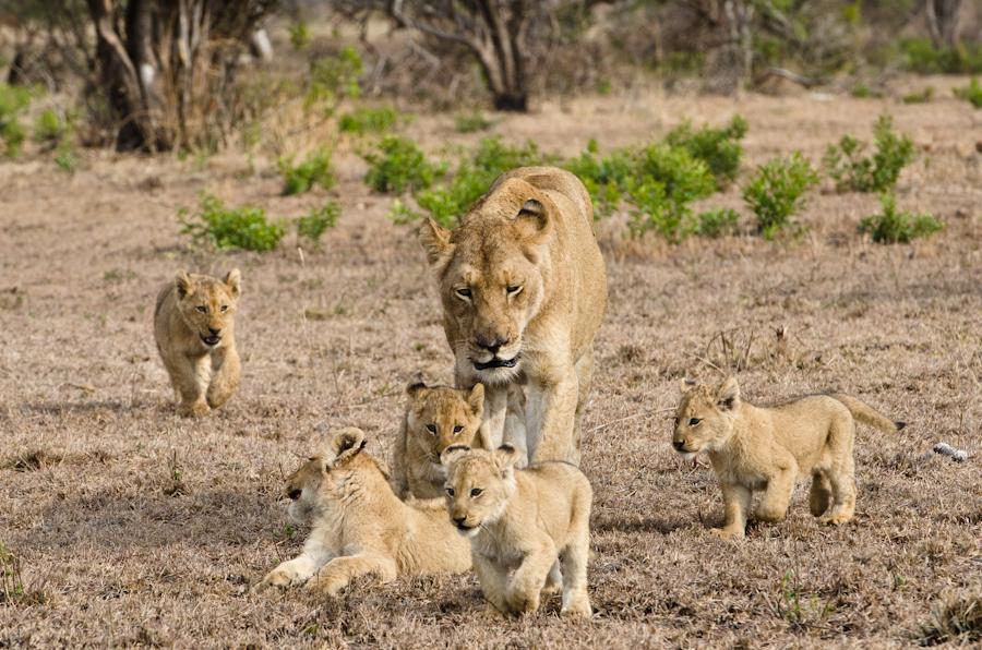 via http://www.sabisabi.com/blog/wp-content/uploads/2012/07/Southern-pride-lion-cubs-4.jpg