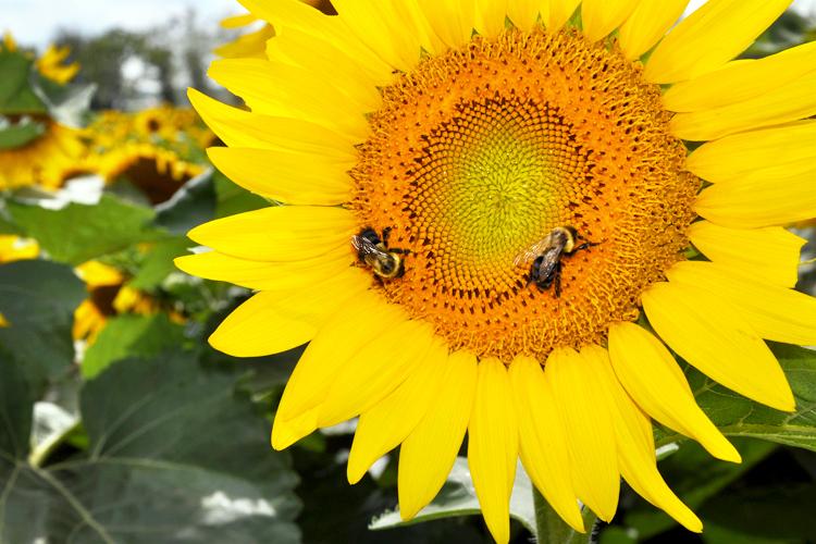 sunflowers_5537724477_o.jpg