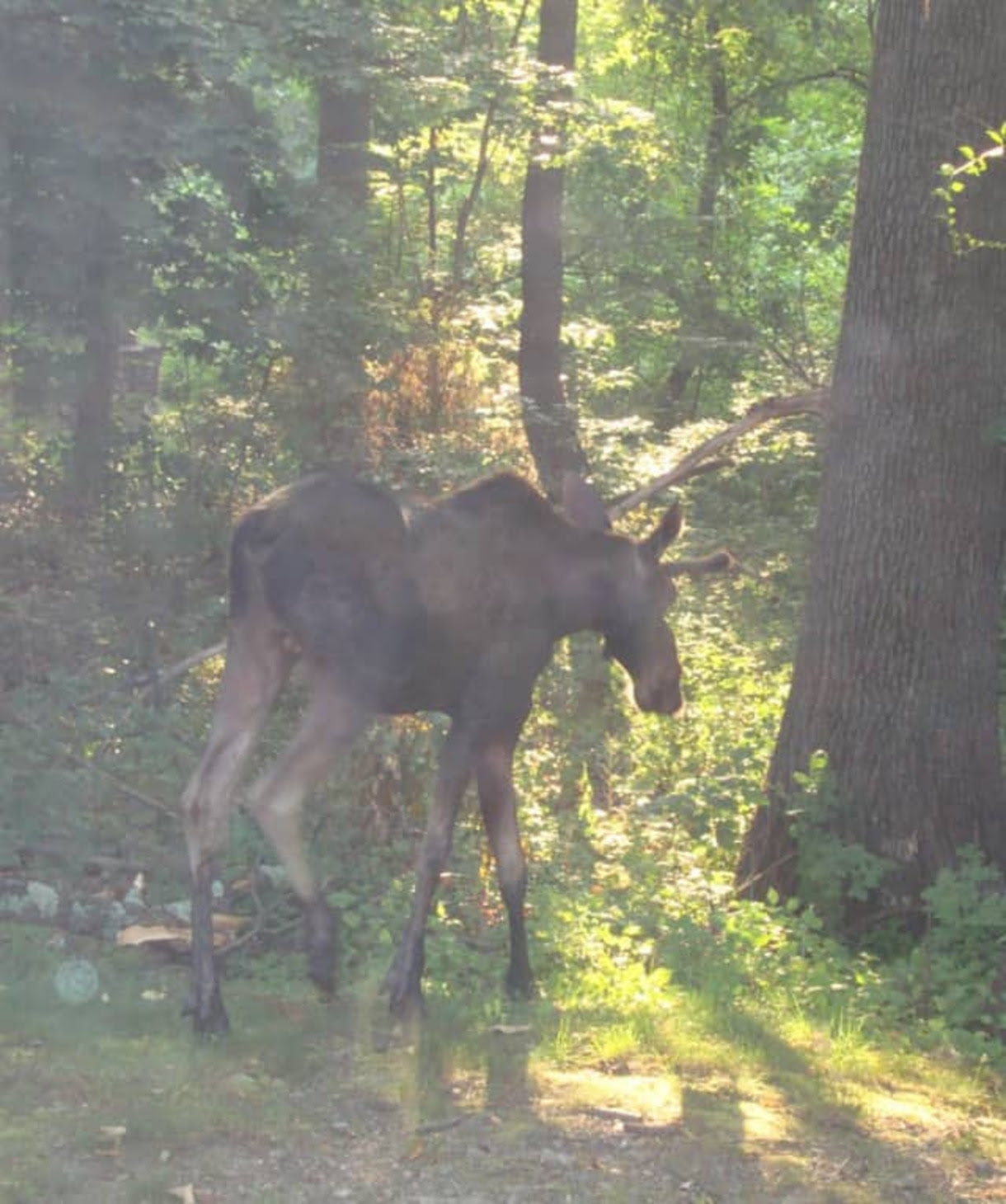 Moose on the loose was seen by my client,               Eric Stromsvold
