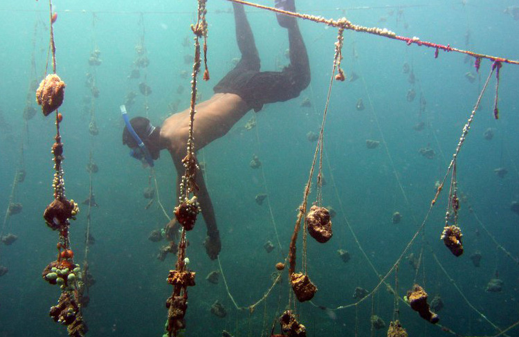 Natural Sea Sponge Farming