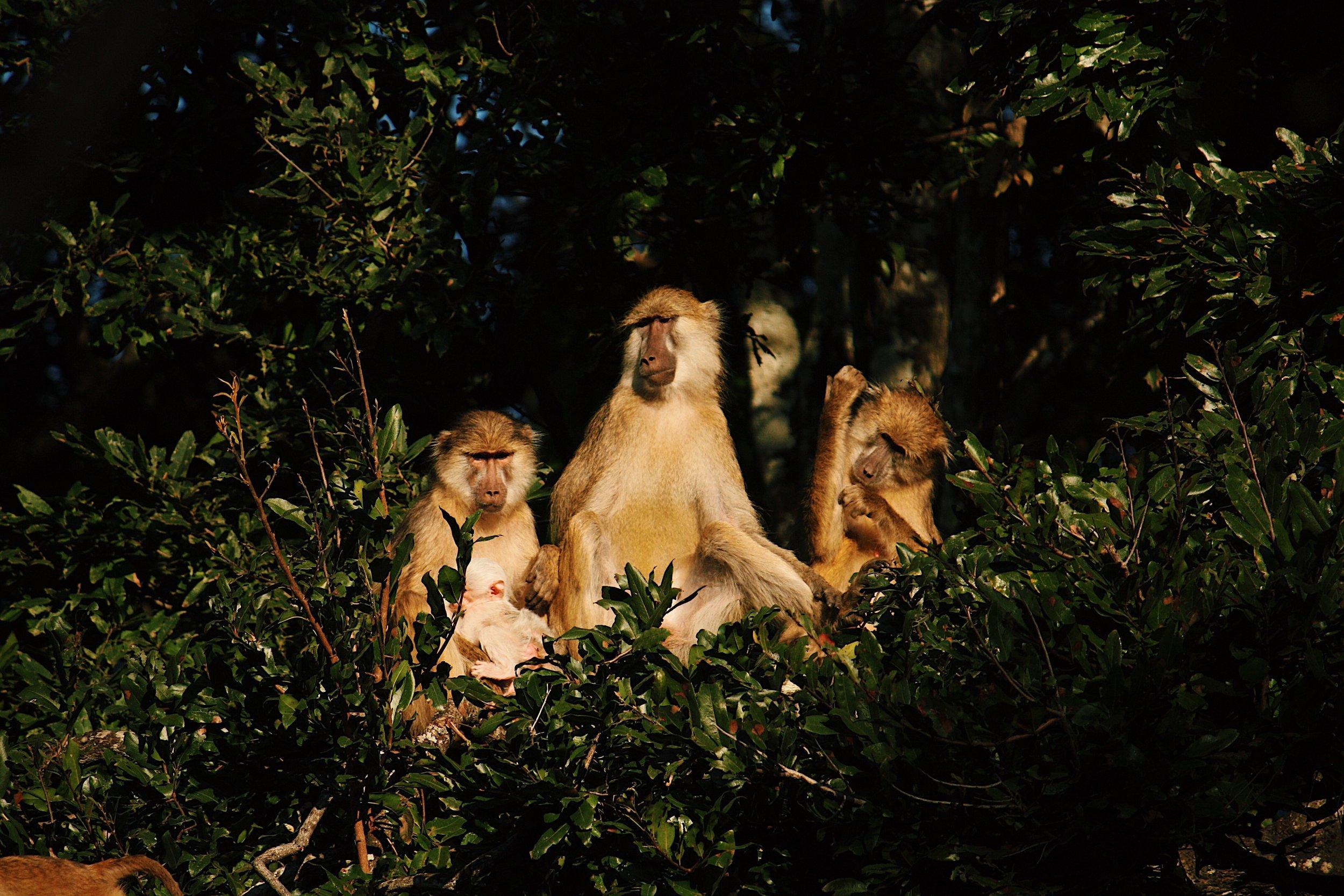 Kinda baboons in Kasanka National Park, Zambia