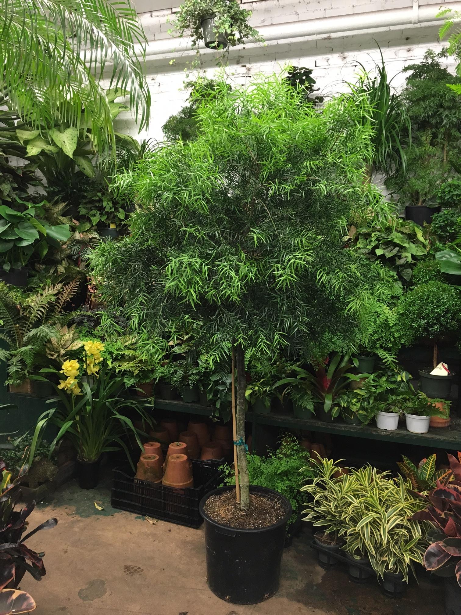 podecarpus, african fern pine or buddhist pine