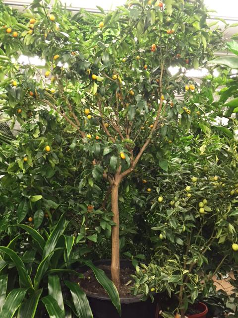 kumquat tree, forunella japonica
