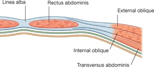 Transverse view of the abdominal muscle layers.