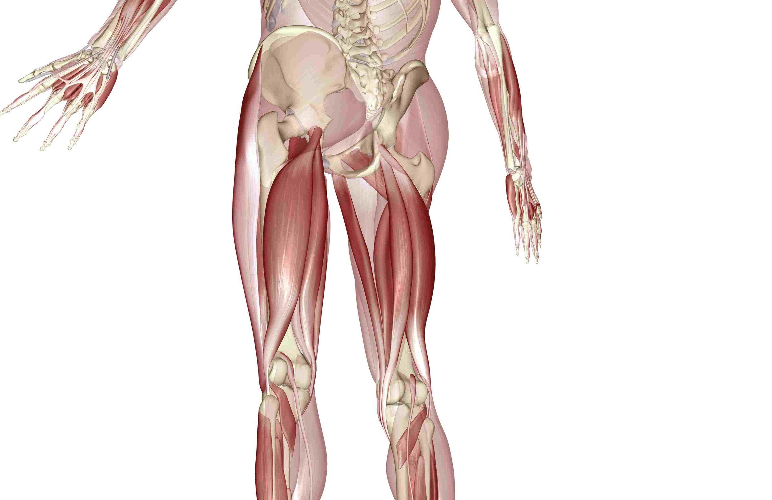 hamstring muscles.jpg