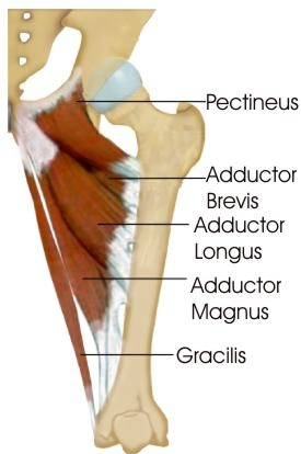 Muscles of the groin.