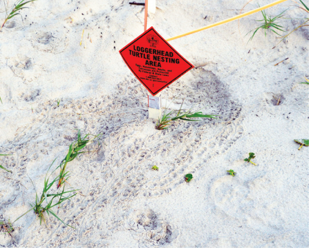 Beachgoers will spot these signs throughout the turtle season. The tiny tracks surrounding this one indicate that its inhabitants left during the night.