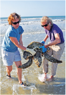 """Mary Pringle and Bev Ballow rescuing """"Jammer"""" in 2011. Following many months of care and rehabilitation at the aquarium's hospital, Jammer was released back into the wild. Not coincidentally, the turtle became the inspiration behind the team's annual fundraising event Jammin' for Jammer, held at The Windjammer on IOP. This year it's scheduled for September 23."""