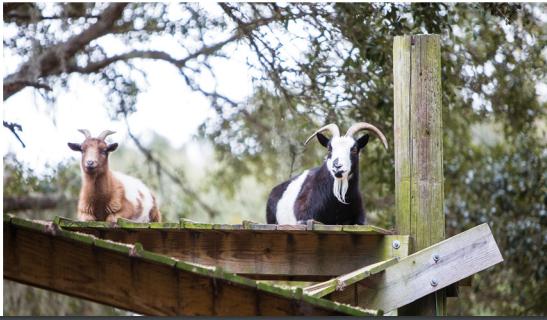 Goat14.PNG