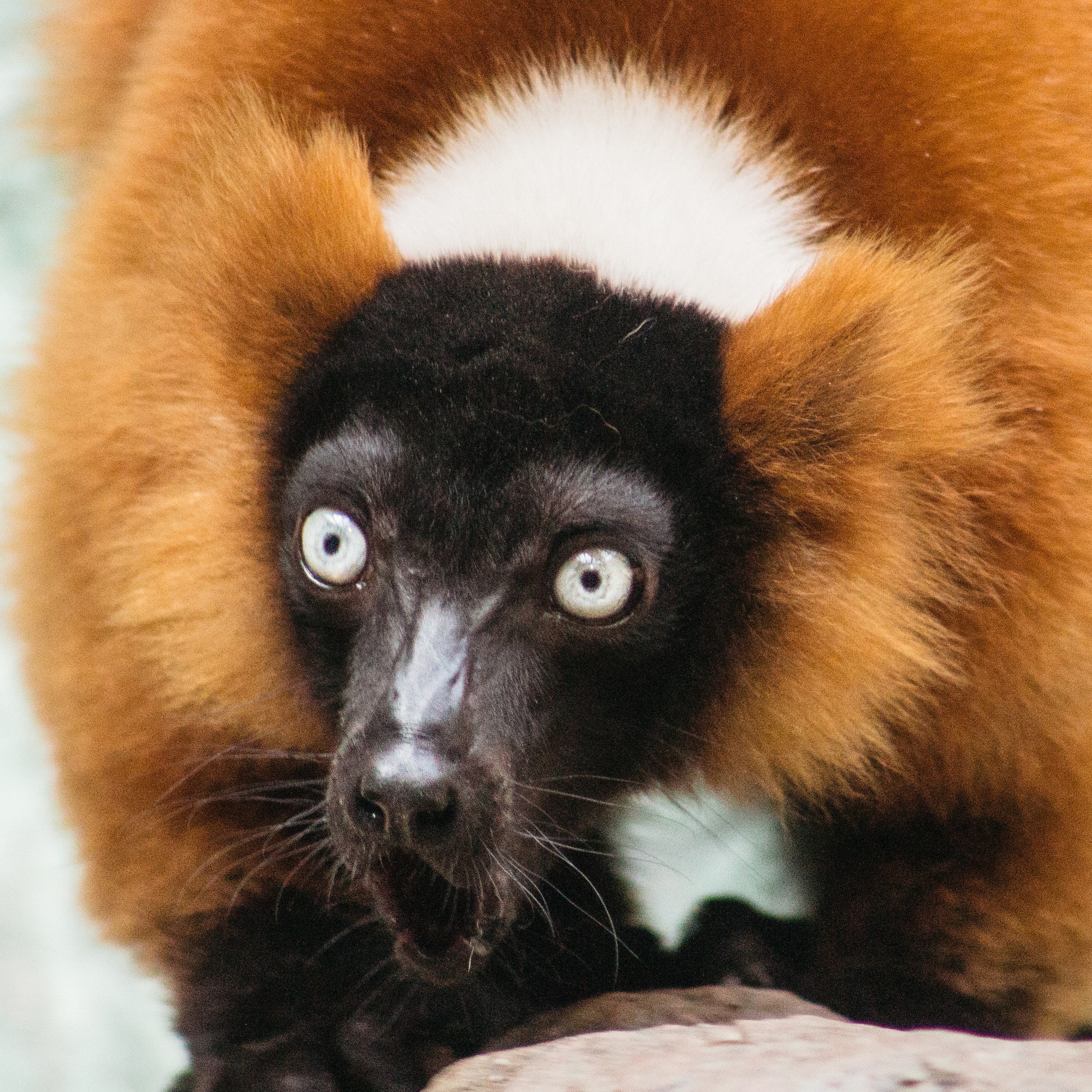This Lemur was fired up.