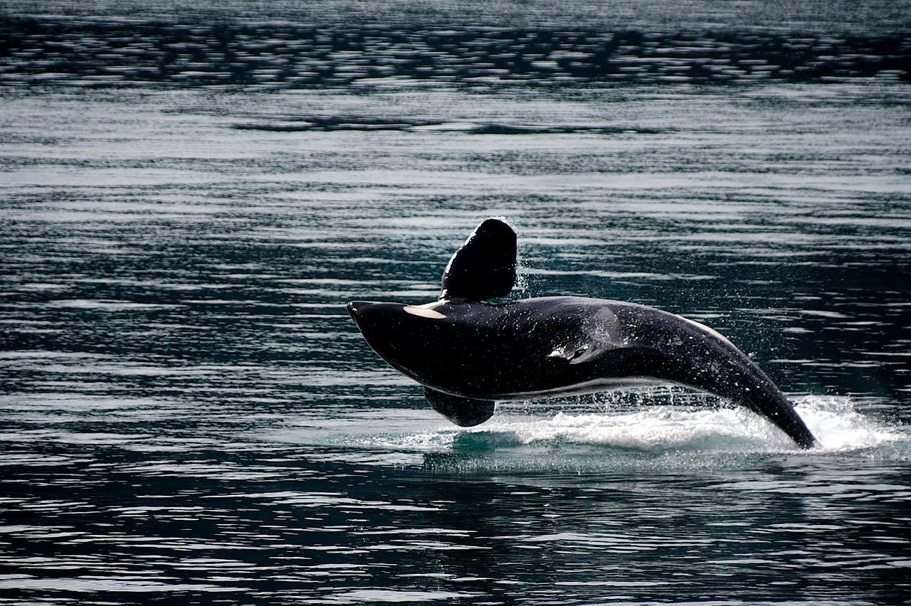 killer-whale-1744276_1280.jpg