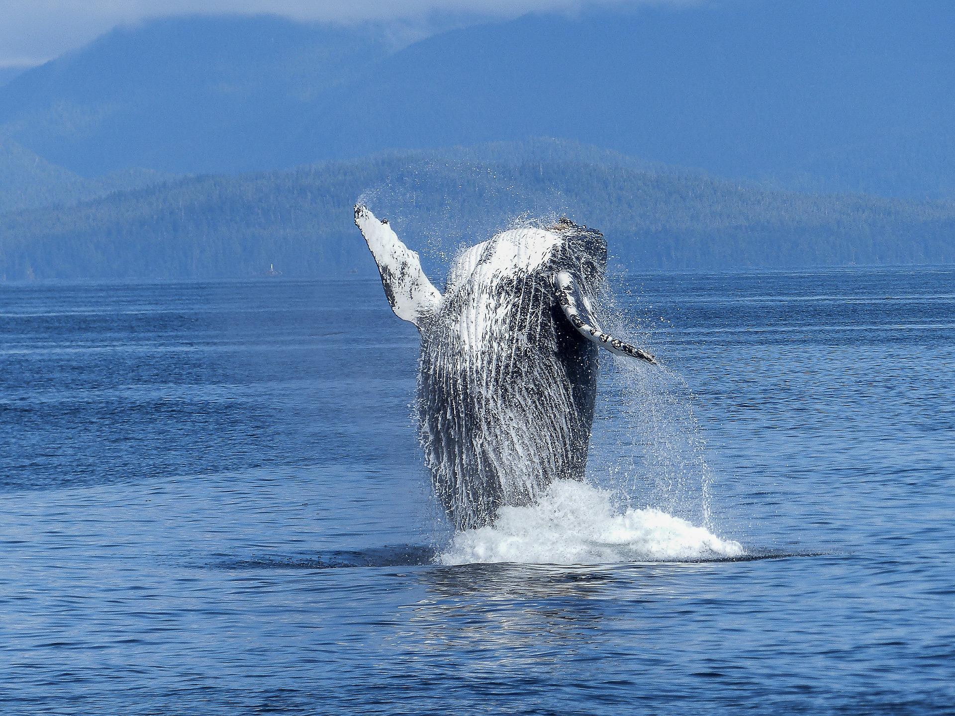 humpback-whale-431902_1920.jpg
